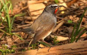 White Tailed Rubythroat