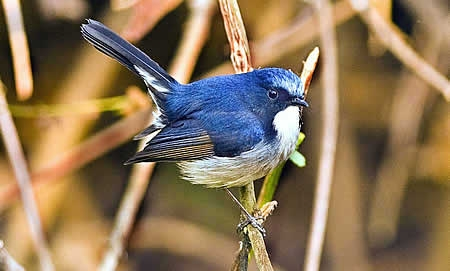 Slaty Blue Flycatcher