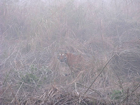 Tiger in the Mist