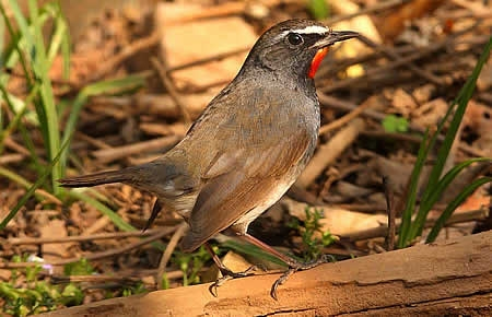 White Tailed Ruby Throat